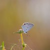 Description - Ceraunus Blue Butterfly <b>Title - A Little Blue</b> <i>- Diane Genneken</i>