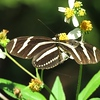Zebra Longwing Butterfly on Spanish Needle