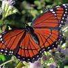 Description - Viceroy Butterfly on Blue Mistflower <b>Title - Viceroy</b> <i>- Kristen Murtaugh</i>