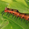 Description - Gulf Fritillary Caterpillar <b>Title - Gulf Fritillary Changing the Landscape</b> <i>- Michael Wilson</i>