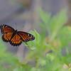 <b>Title - Viceroy Butterfly</b> <i>- Diane Genneken</i>
