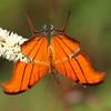 <b>Title - Ruddy Daggerwing Butterfly</b> <i>- Lyle Gabor</i>