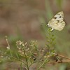 <b>Title - Checkered White Butterfly Laying Egg on Peppergrass</b> <i>- Meg Puente</i>