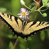 <b>Title - Eastern Tiger Swallowtail on Climbing Aster</b> Honorable Mention <i>- Ruth Pannunzio</i>