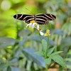 <b>Title - Zebra Longwing Butterfly on Spanish Needle</b> <i>- Marilynne Strazzeri</i>