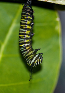 Monarch Caterpillar creating its crysalis.