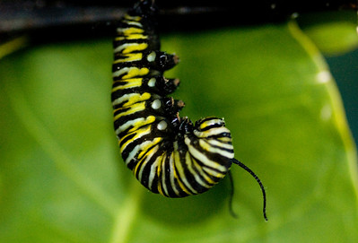 Monarch Caterpillar getting reading to become a crysalis.