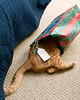 domestic shorthaired cat, orange tiger; Christmas is playtime; 8x10