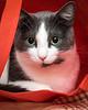 domestic short hair cat; 8x10