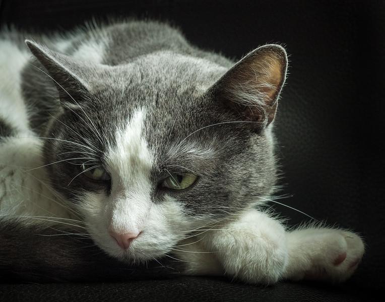 domestic short hair cat; 11x14