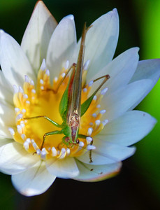 Grasshopper or katydid on a waterlily