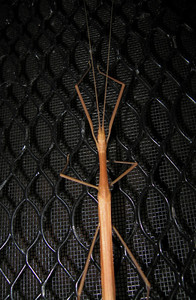 Stickbug