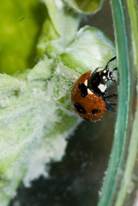 ladybug, green leaf, insect, red, orange, black
