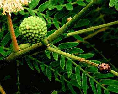 insect on acacia plant