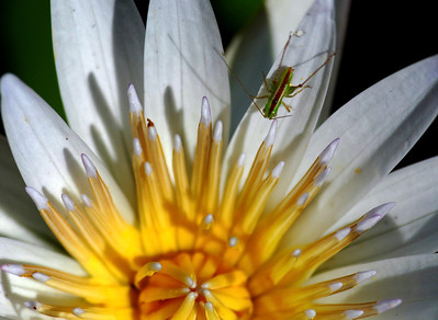 Green insect on a waterlily