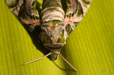 Oleander Hawk Moth on a leaf, unfortunately our resident kitty got this moth, thus enabling me to photograph it