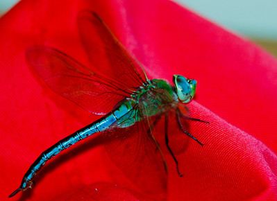Colorful Dragonfly on a red hat - The reason I was lucky enough to shoot this dragonfly is because our resident kitty got it, but the dragonfly was promptly saved by the kitty's 'dad' who then brought it over to my place and put it on a hat hoping it would recover . . . which it did, but not before I managed to photograph it.