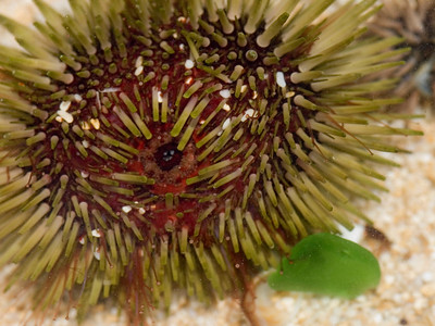 Between the spines and often easily visible near the mouth, are located 'three jawed forceps' called pedicellaria, which are used by the urchin to clean the epidermis and grasp food particles.