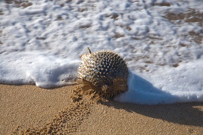 Porcupine Blowfish tossed in the waves at Sunset Beach the day after a beautiful storm  North Shore of O'ahu, Hawai'i