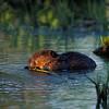 Beaver Feeding