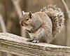 Eastern grey squirrel; 8x10