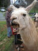 llama eating melon