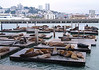 sea lions asleep at Pier 39 in San Francisco