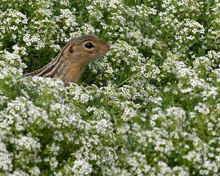 thirteen lined ground squirrel; 8x10