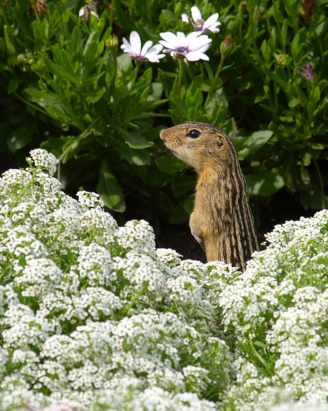thirteen lined ground squirrel; 8x10