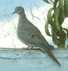 This dove lives around our home and has lost her/his mate, poor thing.