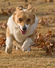 Pembroke Welsh corgi at play; 8x10