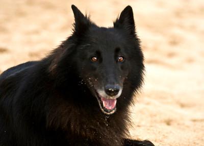 Shadow, Belgian Shepherd