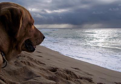 Yellow Labrador on the Beach