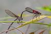 American Rubyspots mating