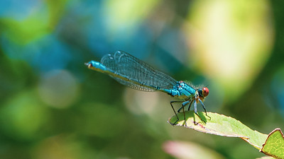 Small Red-eyed Damselfly