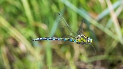Aeshna cyanea - Blaugrüne Mosaikjungfer