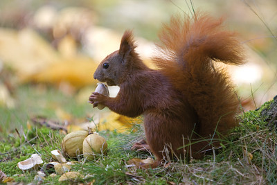6114x4096, squirrel, tree, nut