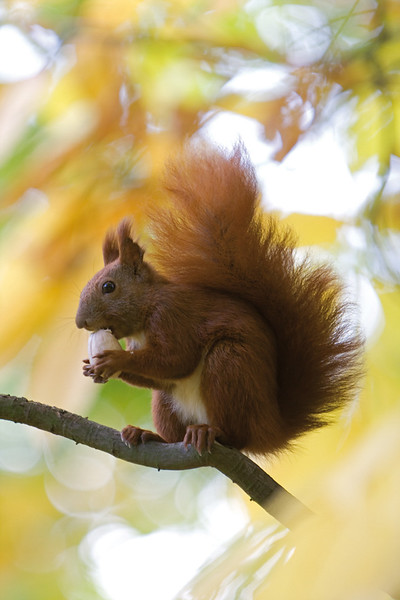 4096x6114, squirrel, tree, nut