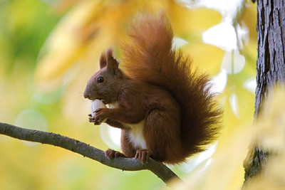 6114x4096, squirrel, tree, nut