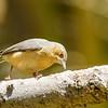 Buff-bellied warbler