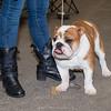 Esposizione internazionale canina Reggio Emilia marzo 2016 (77)