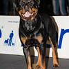 Thor - Esposizione internazionale canina Modena gennaio 2016 - (4)