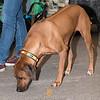 Esposizione internazionale canina Reggio Emilia marzo 2016 (84)