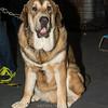 Esposizione internazionale canina Modena gennaio 2016 - (63)