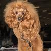 Esposizione internazionale canina Reggio Emilia marzo 2015 #6