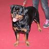 Esposizione internazionale canina Reggio Emilia marzo 2016 (47)