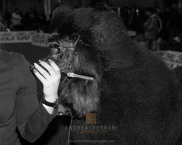 Coiffeur - Esposizione internazionale canina Modena gennaio 2016 - (68)