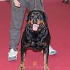 Esposizione internazionale canina Reggio Emilia marzo 2016 (6)