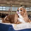 Esposizione internazionale canina Reggio Emilia marzo 2016 (69)