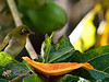 Japanese White-Eye<br /> Zosterops japonicus<br /> Mejiro (メジロ, 目白) (Japanese)